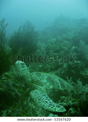 green turtle resting in soft corals sipadan in sabah borneo - stock photo