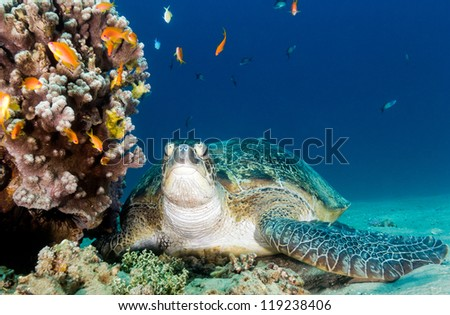 Green turtle sat on a sandy seabed next to a coral pinnacle in the Red Sea - stock photo