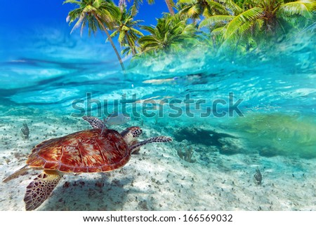 Green turtle swimming at tropical island of Caribbean Sea - stock photo