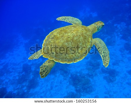 Green turtle swimming in a blue ocean (Chelonia mydas), Curacao - stock photo
