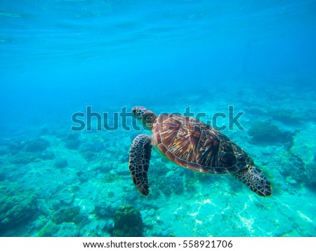 Green turtle swimming in Hawaiian seawater. Sea turtle in wild nature. Sea tortoise diving in blue lagoon. Oceanic animal photo for card or banner. Snorkeling with tortoise. Tropical seashore