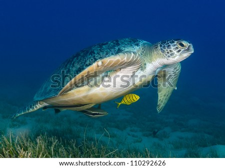 Green Turtle swimming low over sea grass - stock photo
