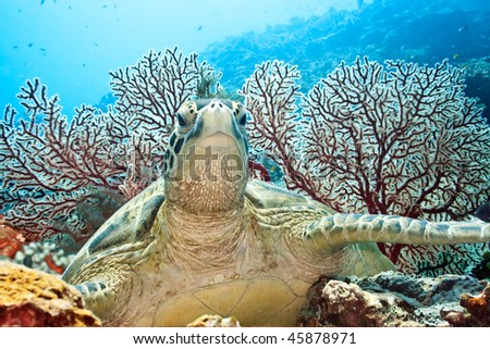 Green Turtle. Underwater world of Borneo island. - stock photo