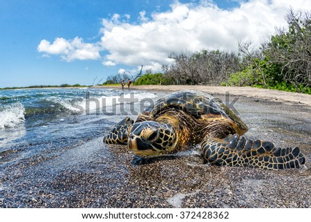Green Turtle while relaxing near sandy beach - stock photo