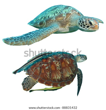 Green Turtles (Chelonia mydas) isolated on white background; one having remora or suckerfish attached. - stock photo