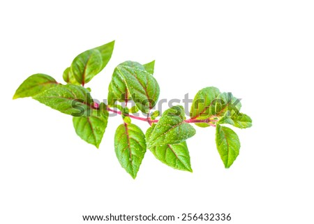 green twig of sapling fuchsia with dew is isolated on white background, closeup - stock photo