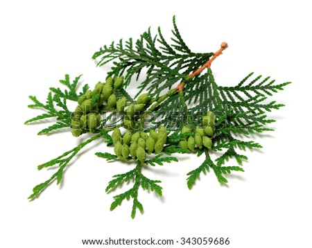 Green twig of thuja with cones isolated on white background. - stock photo