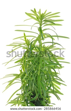 Green twig yew isolated on white background - stock photo