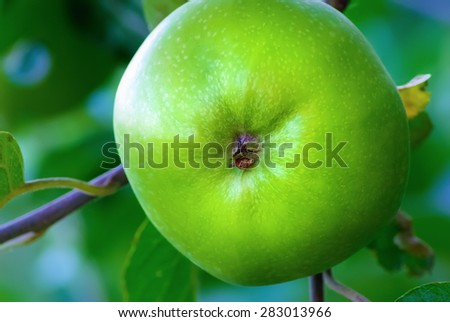 Green unripe apple growing on a tree branch. Shallow depth of field. Selective focus. - stock photo