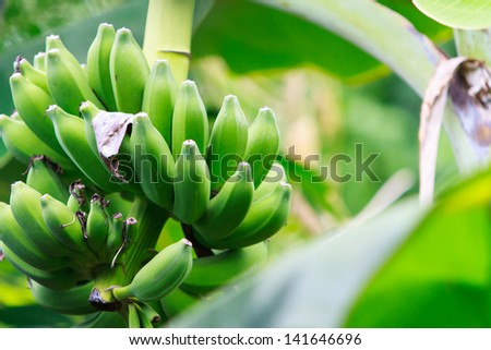 Green Unripe Bananas in Thailand - stock photo