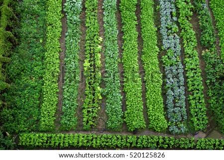 Green Vegetable Garden, Top View