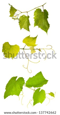 green vine foliage isolated on white background - stock photo