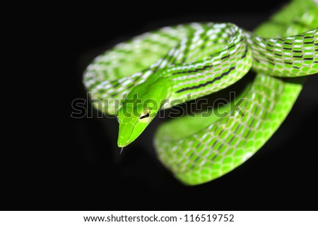 Green vine snake - stock photo