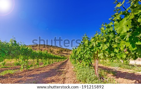 Green vineyard and blue sky in Israel HDR - stock photo