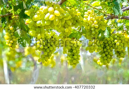 Green vineyard in the early sunshine with plump grapes harvested laden waiting white wine nutritious drink and be loved. - stock photo