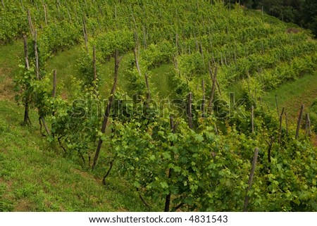 green vineyard in the north of  Italy
