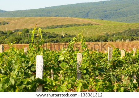 Green vineyards landscape with mountains at background in Crimea