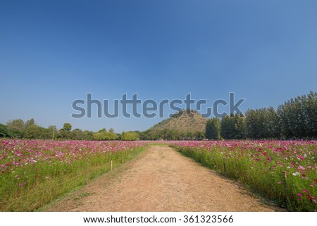 green walkway between cosmos flower in field with mountain background - stock photo