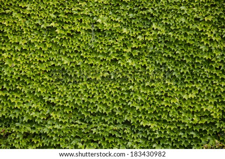 Green wall background of Boston ivy, [Parthenocissus tricuspidata]