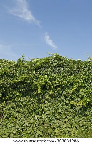 Green wall background of Boston ivy, [Parthenocissus tricuspidata] - stock photo