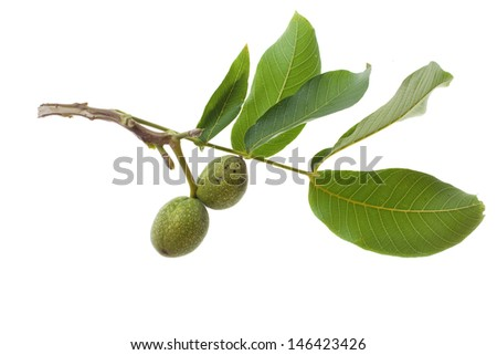 green walnut on twig isolated on white background - stock photo