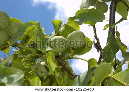 Green walnuts on sky backgound with green leaves - stock photo