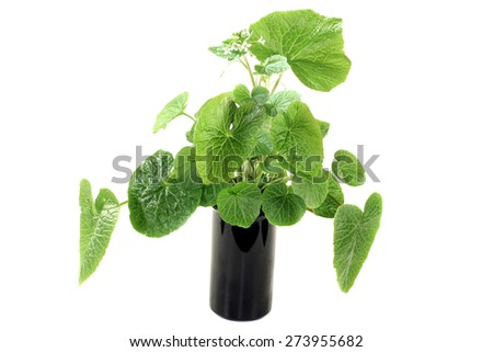 green wasabi leaves with blossoms on a bright background - stock photo