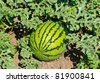 Green water-melons lay on the ground at a melon field - stock photo