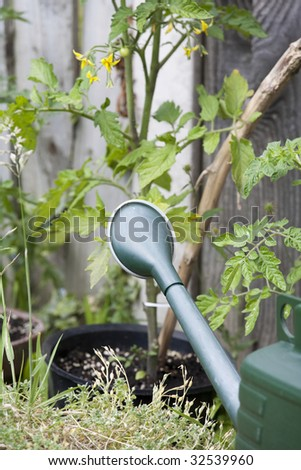green watering can in front of tomato plant
