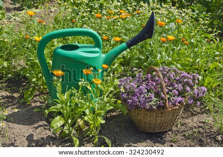 green watering pot with a wicker basket full of freshly picked oregano in garden - stock photo