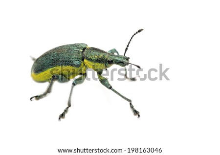 Green weevil Chlorophanus viridis isolated on white - stock photo