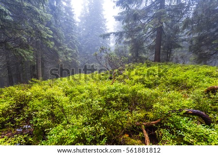 green wet pine forest in a mist