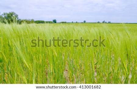 green wheat field detail - stock photo
