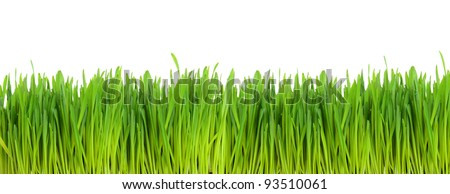 Green wheat field isolated on white background - stock photo
