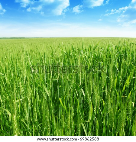 Green wheat field under blue sky. - stock photo