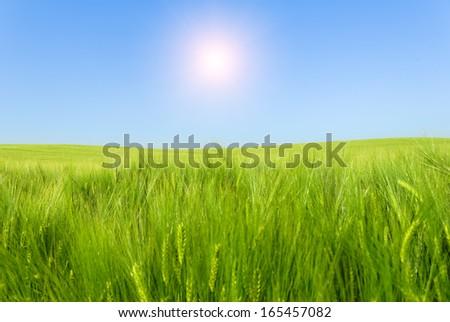 green wheat field under sunlight - stock photo
