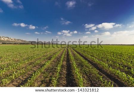 Green wheat filed blue sky and sun glare - stock photo