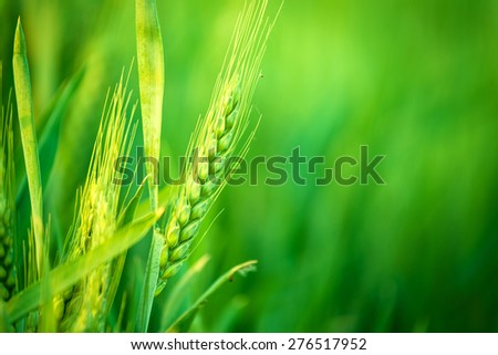 Green Wheat Head in Cultivated Agricultural Field, Early Stage of Farming Plant Development, Selective Focus with Shallow Depth of Field - stock photo