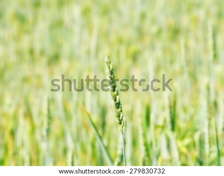 Green wheat in field - stock photo
