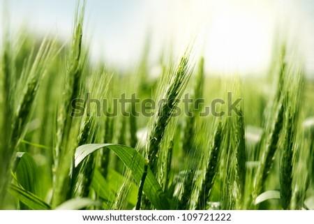 Green wheat in sunlight - stock photo