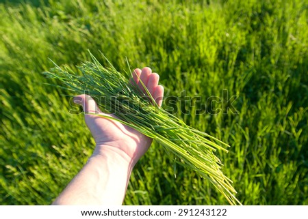 Green wheat in the beam in his hand