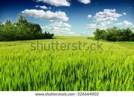 Green wheat in the field - stock photo