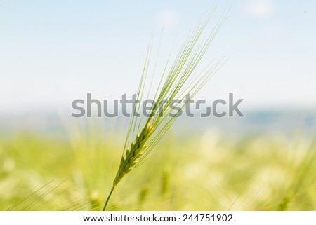 Green wheat in the field. Close up. Bokeh. - stock photo