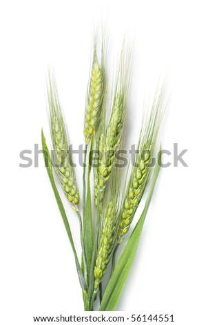 green wheat isolated on white - stock photo