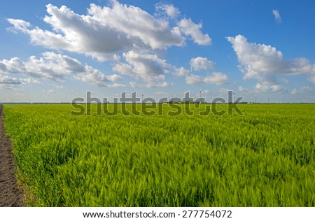 Green wheat on a field in spring - stock photo