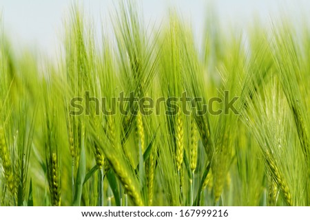 Green wheat on a grain field in spring