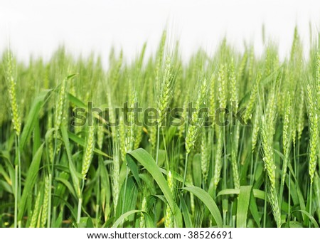 Green wheat on the field - stock photo