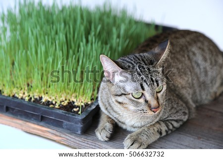 Green wheat on the seedling tray and a Cat selective focused.