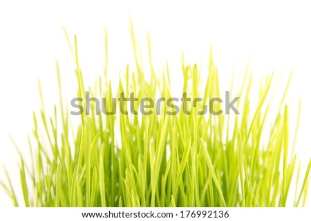 Green wheat plants  on a white background - stock photo