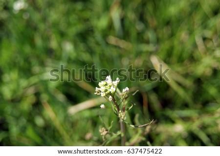 Green white flower weed grass shepherds stock photo royalty free green white flower weed grass shepherds purse of capsella bursa pastoris common name shepherds mightylinksfo